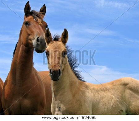 Attentive Quarter Horses