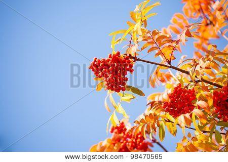 Rowan berries and leaves over blue sky