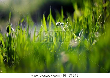 Fresh green grass backlit in spring time