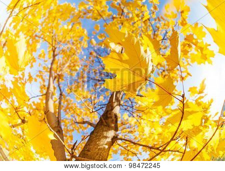 Yellow maple tree leaves composition over sky