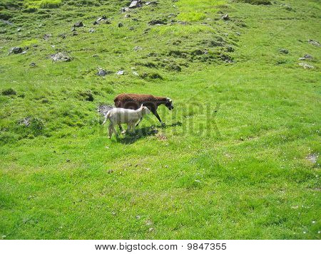 Two Ewes, The Mother Ewe And Her Chlidren Walking On The Grass In The Mountains, France, The Pyrenee