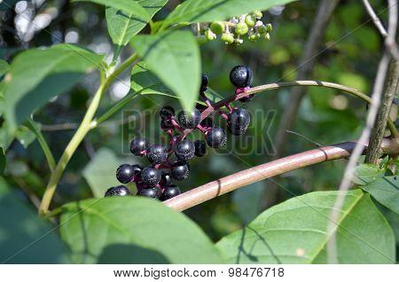 Poke Weed (Phytolacca Americana)