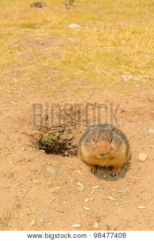 Ground squirrel at the Lightning Lake in Manning Park, British Columbia, Canada.