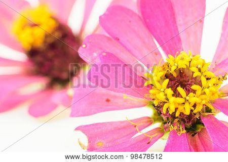 Pink Zinnia Petals Flower