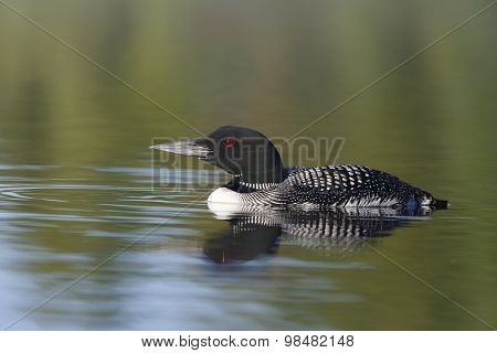 Common Loon In Summer