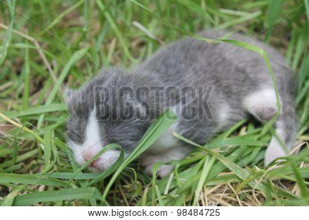 Grey newborn kitten