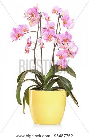 Vertical studio shot of orchid flowers in a yellow flowerpot isolated on white background