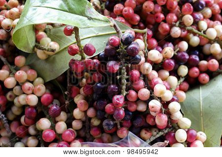 Antidesma Thwaitesianum Mull.arg., Ma-mao (thai Name) Isan Region Of Thailand Fruit With Medicinal P