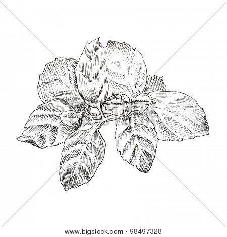 Mint leaves ink sketch