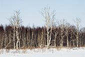 picture of birchwood  - Birchwood in the winter - JPG