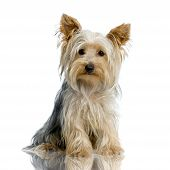 image of yorkshire terrier  - portrait of yorkshire sitting in front of white background - JPG