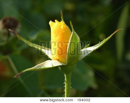 Blossoming Rose Bud