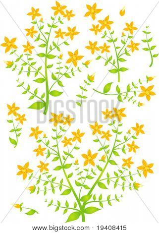 Floral elements for design, vector illustration, St.John's Wort (Latin: Hypericum perforatum)