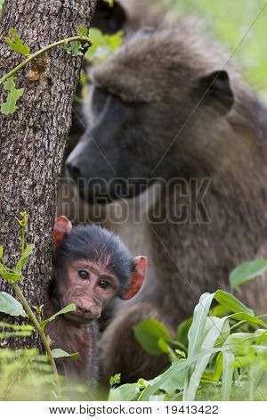 Bärenpavian; Papio Cynocephalus; Südafrika