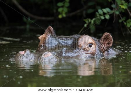 Hippopotamus amphibius : South Africa