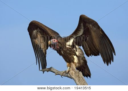 Lappetfaced Vulture : Torgos Tracheliotus : South Africa