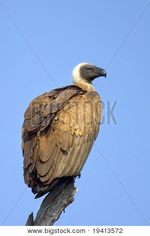 Whitebacked Vulture; Gyps Africanus; South Africa