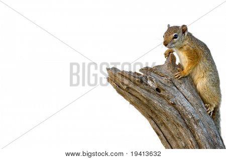 Tree Squirrel isolated on white; paraxerus cepapi