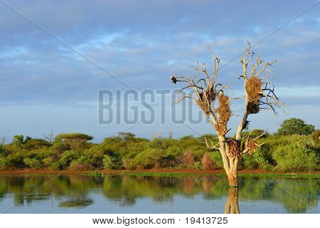 Landscape; old dead tree with large bird nests standing in water