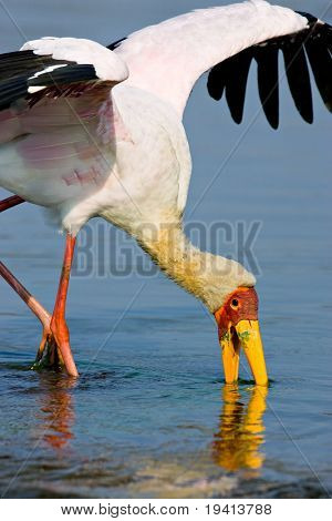 Yellowbilled stork; Mycteria ibis; South Africa