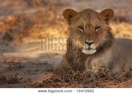 Young Lion resting in morning sun; panthera leo; Kalahari desert; South Africa
