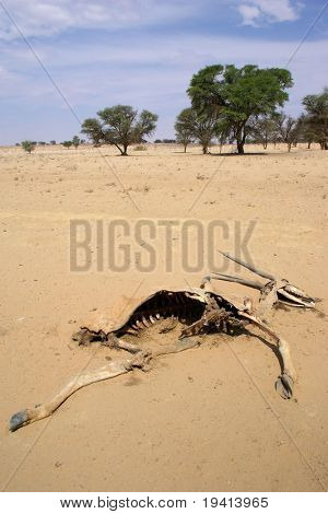 Death in the desert; skeleton of an Eland; South Africa; Kalahari desert