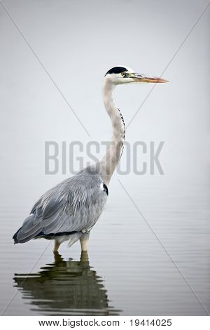 Grey Heron wading in water; Ardea Cinerea; South Africa