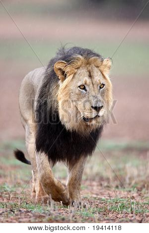 Rare black mane male lion walking in rain; panthera leo; Kalahari desert