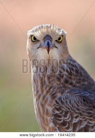 Portrait of a juvenile Pale Chanting Goshawk; Melierax canorus