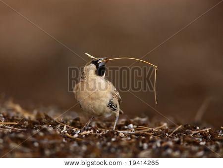 Sociable weaver picking up grass to build nest; Philetairus socius