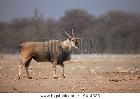 Eland bull walking on sandy soil in Etosha