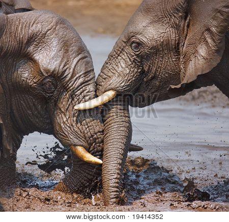 Two Elephant's playing in the water; Loxodonta Africana; Etosha