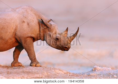 Black Rhinoceros walking on salty plains of Etosha