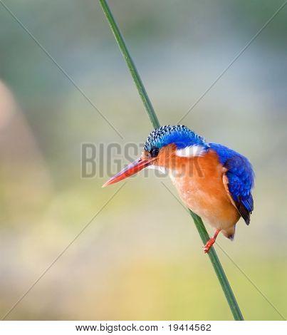 Malachite Kingfisher; Alcedo Cristata; Kruger National Park; South Africa