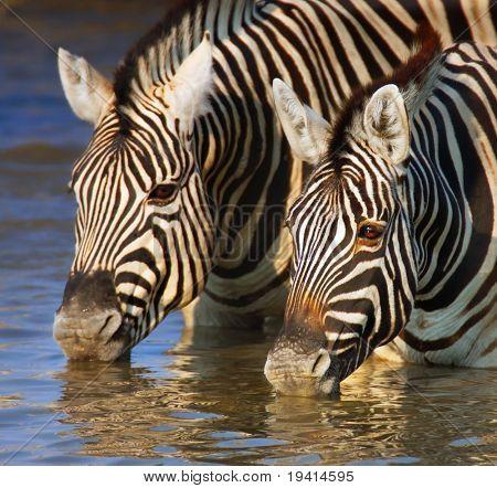 Close-up of two zebras drinking water; Etosha