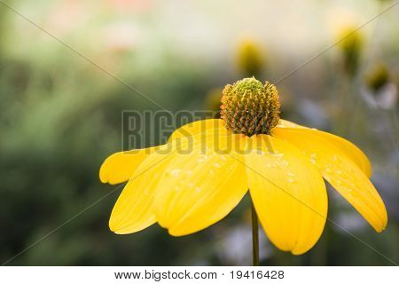 Wild yellow flower with water drops after rain