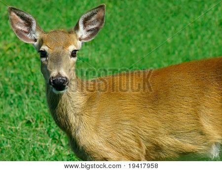 Young Deer Looking at Us