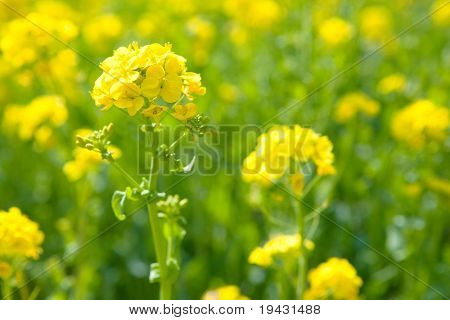 A meadow of rapeseed flowers.