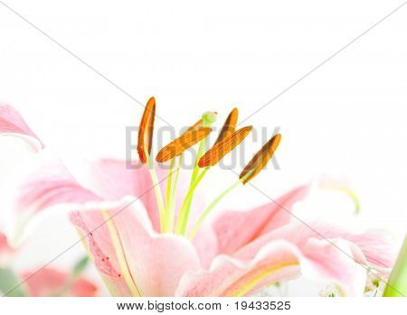 Pink lilies (lily / Lilium) in soft bright white light, isolated on white. focus on stamens.