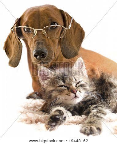 kluger Hund Dackel in Gläsern und Katze