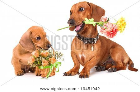 dachshund puppy and rose