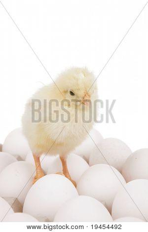 süße kleine Baby-Huhn auf weiße Eier über graue Fach isolated over white background