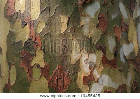 Platan tree bark after rainfall (wooden texture)