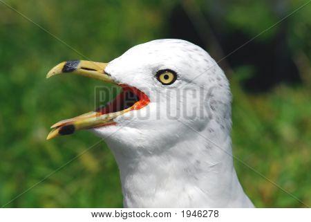 Sea Gull Head