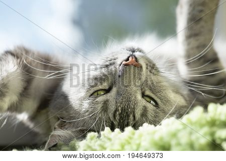 poster of Cat portrait close up. Cat face. Grey kitten looking up, close up. Cat portrait close up, only head crop, looking to the top, cat in light brown and cream looking with pleading stare at the viewer with space for advertising and text, cat head