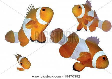 Four clown fishes isolated on white background