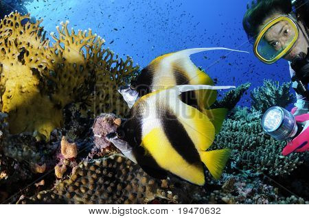 A diver and Red Sea bannerfishes