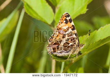 Small Map Butterfly