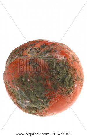 White background studio image of a decayed rotten tomato
