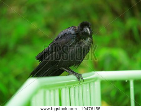 crow stand on handrail